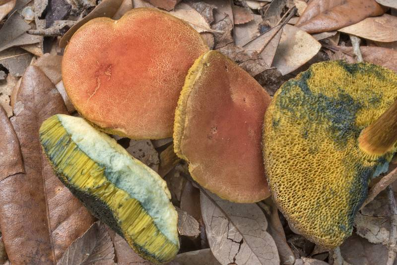"Caps of <B>Boletus subfraternus</B>(?) mushrooms under oak and elm trees in Washington-on-the-Brazos State Historic Site. Washington, Texas, <A HREF=""../date-en/2020-09-27.htm"">September 27, 2020</A>"