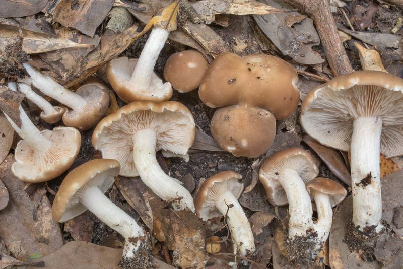 "Young brown blewit mushrooms (<B>Clitocybe brunneocephala</B>) in area of an old overgrown farm in Washington-on-the-Brazos State Historic Site. Washington, Texas, <A HREF=""../date-en/2020-09-27.htm"">September 27, 2020</A>"