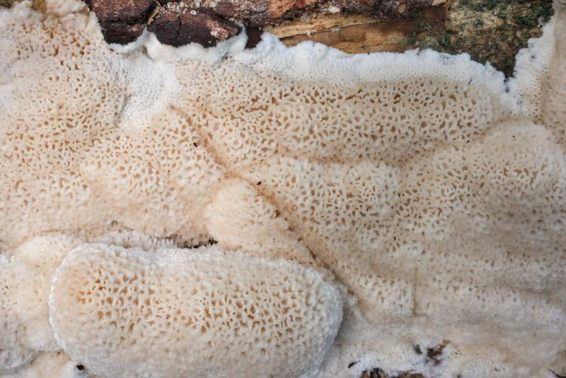 "Close-up of pore surface of frothy porecrust fungus (<B>Oxyporus latemarginatus</B>) in Washington-on-the-Brazos State Historic Site. Washington, Texas, <A HREF=""../date-en/2020-09-27.htm"">September 27, 2020</A>"