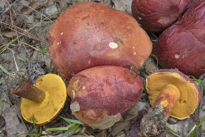 Patriotic bolete mushrooms (Boletus patrioticus) on Sand Branch Loop Trail in Sam Houston National Forest near Richards. Texas, October 3, 2020