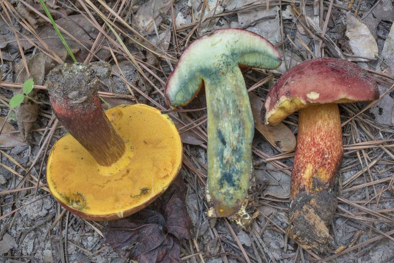 Underside and cross section of patriotic bolete mushrooms (Boletus patrioticus) on Sand Branch Loop Trail in Sam Houston National Forest near Richards. Texas, October 3, 2020