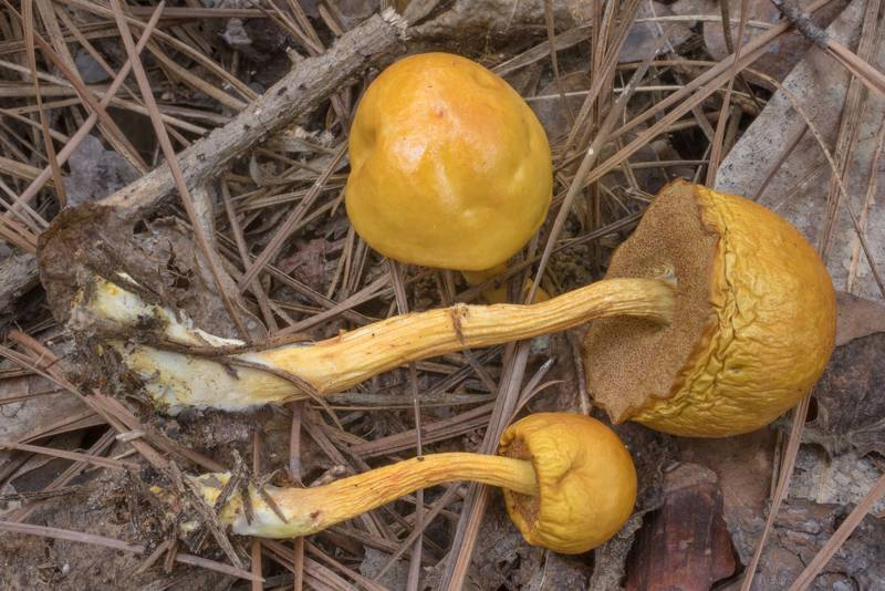 Bolete mushrooms Pulveroboletus curtisii among pine needles on Sand Branch Loop Trail in Sam Houston National Forest near Richards. Texas, October 3, 2020