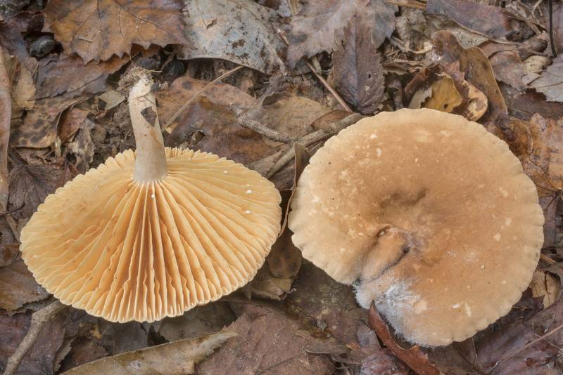 "Milkcap mushrooms <B>Lactarius subplinthogalus</B>(?) in Big Creek Scenic Area of Sam Houston National Forest. Shepherd, Texas, <A HREF=""../date-en/2020-10-11.htm"">October 11, 2020</A>"
