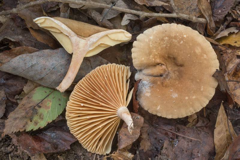 "Cross section of milkcap mushrooms <B>Lactarius subplinthogalus</B>(?) in Big Creek Scenic Area of Sam Houston National Forest. Shepherd, Texas, <A HREF=""../date-en/2020-10-11.htm"">October 11, 2020</A>"