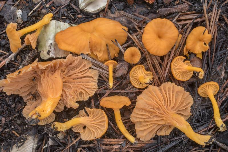 "Flame chanterelle (<B>Craterellus ignicolor</B>) in wet area in Watson Rare Native Plant Preserve. Warren, Texas, <A HREF=""../date-en/2020-10-17.htm"">October 17, 2020</A>"