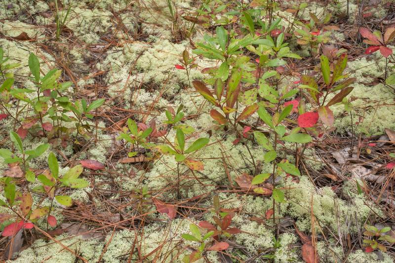 "Cushion of dixie reindeer lichen (<B>Cladonia subtenuis</B>) with seedlings of swamp titi (Cyrilla racemiflora) in Watson Rare Native Plant Preserve. Warren, Texas, <A HREF=""../date-en/2020-10-17.htm"">October 17, 2020</A>"