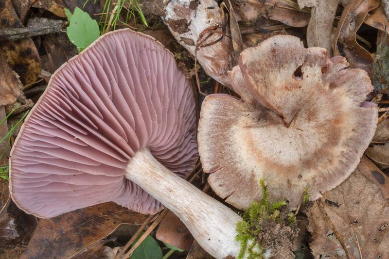 "Gills of <B>Laccaria ochropurpurea</B> mushrooms on Kirby Trail in Big Thicket National Preserve. Warren, Texas, <A HREF=""../date-en/2020-10-17.htm"">October 17, 2020</A>"