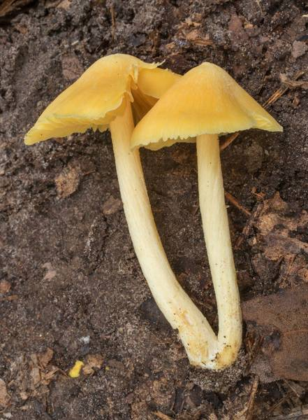 "Side view of unicorn pinkgill mushrooms (<B>Entoloma murrayi</B>) on Kirby Trail in Big Thicket National Preserve. Warren, Texas, <A HREF=""../date-en/2020-10-17.htm"">October 17, 2020</A>"