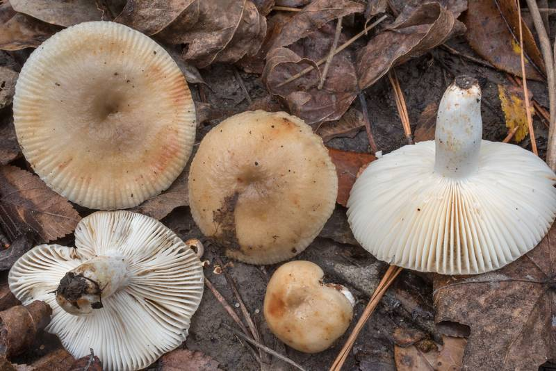 "Brittlegill mushrooms <B>Russula grata</B> on floodplain on Caney Creek Trail (Little Lake Creek Loop Trail) in Sam Houston National Forest north from Montgomery. Texas, <A HREF=""../date-en/2020-10-24.htm"">October 24, 2020</A>"