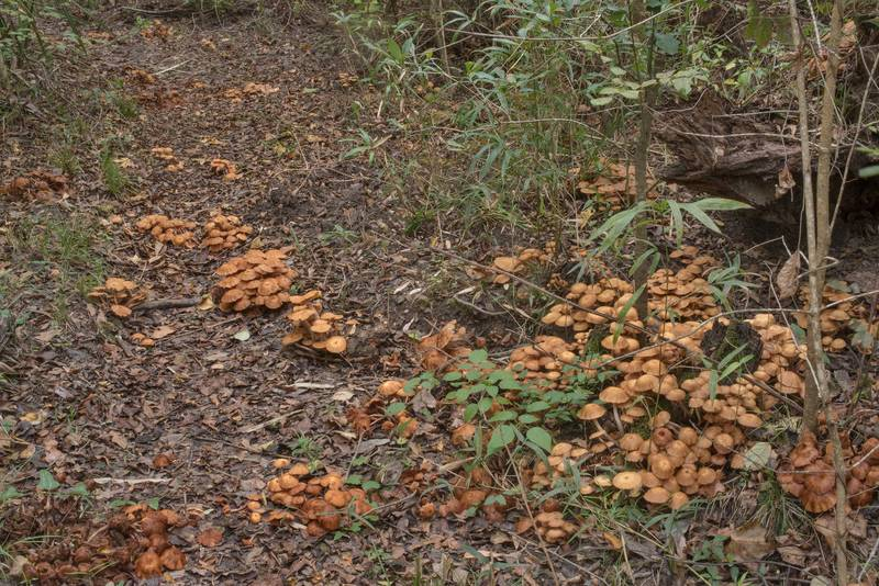 Large number of ringless honey mushrooms (Desarmillaria tabescens) near the trail on Caney Creek Trail (Little Lake Creek Loop Trail) in Sam Houston National Forest north from Montgomery. Texas, October 24, 2020