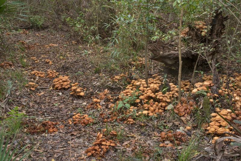 Masses of ringless honey mushrooms (Desarmillaria tabescens) near the trail on Caney Creek Trail (Little Lake Creek Loop Trail) in Sam Houston National Forest north from Montgomery. Texas, October 24, 2020