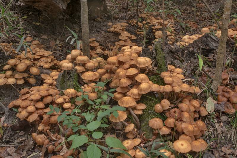 Old caps of ringless honey mushrooms (Desarmillaria tabescens) on a stump on Caney Creek Trail (Little Lake Creek Loop Trail) in Sam Houston National Forest north from Montgomery. Texas, October 24, 2020