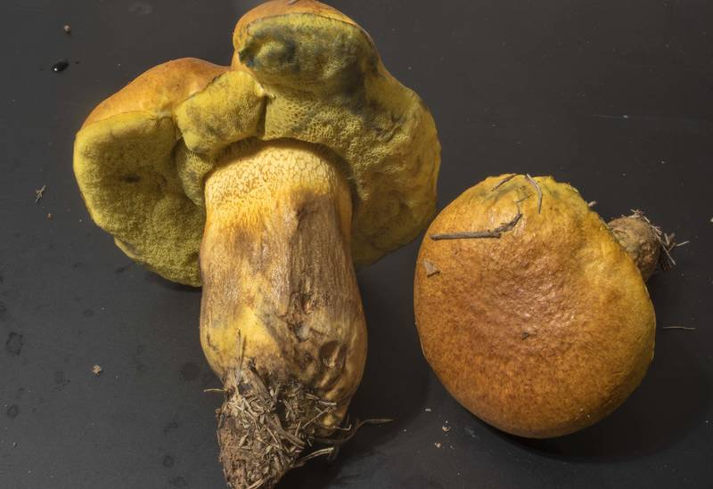 "<B>Boletus luridellus</B> mushrooms taken from a lawn at Duncan Field on campus of Texas A and M University. College Station, Texas, <A HREF=""../date-en/2020-10-26.htm"">October 26, 2020</A>"