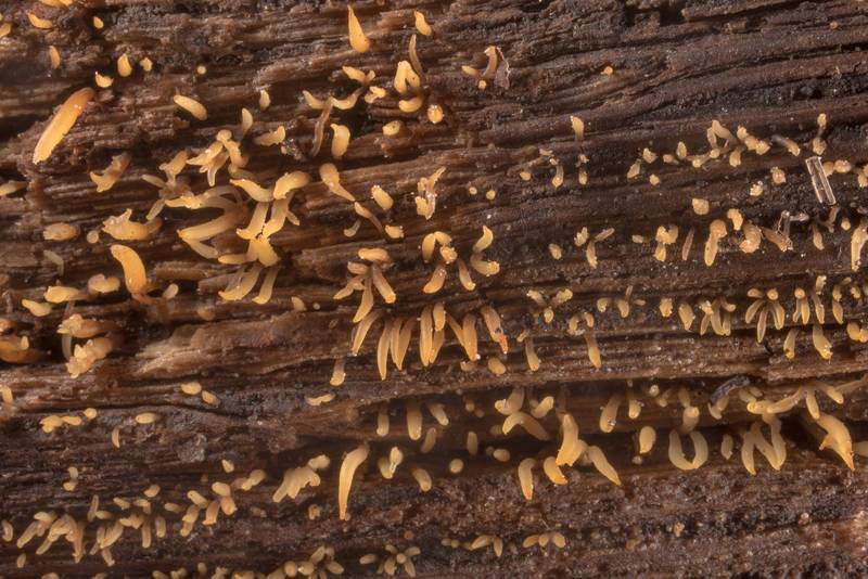 "Small stagshorn mushrooms <B>Calocera cornea</B> on a log in Lick Creek Park. College Station, Texas, <A HREF=""../date-en/2020-10-29.htm"">October 29, 2020</A>"