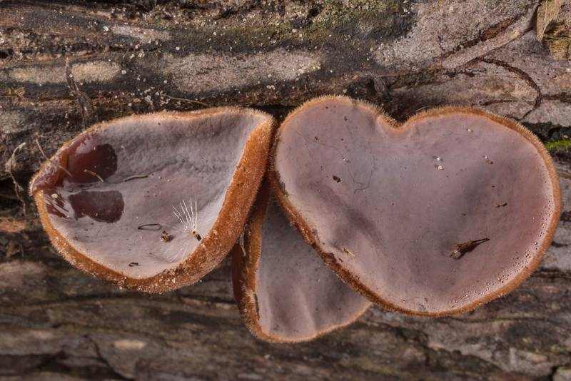 "Upper surface of cloud ear jelly mushrooms (<B>Auricularia nigricans</B>) on a log on Chinquapin Trail in Huntsville State Park. Texas, <A HREF=""../date-en/2020-10-30.htm"">October 30, 2020</A>"
