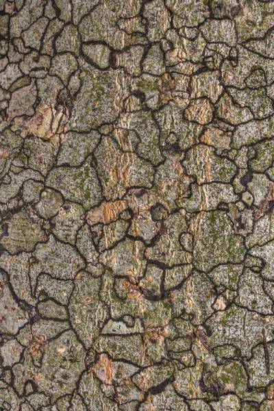 Map-like texture of lichens on bark of hackberry (Celtis occidentalis) in Washington-on-the-Brazos State Historic Site. Washington, Texas, November 3, 2020