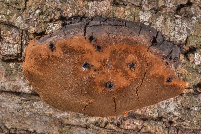 Underside of bracket polypore mushroom Phellinus badius (Phellinus rimosus group) on a living huisache tree, in prairie, in shade of Yaupon holly bushes, in Washington-on-the-Brazos State Historic Site. Washington, Texas, November 24, 2020