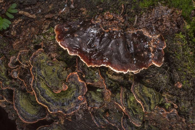 "Hairy curtain crust fungus (<B>Stereum hirsutum</B>(?)) on a fallen oak on Little Lake Loop Trail in Sam Houston National Forest east from Trail Head No. 4, near Montgomery. Texas, <A HREF=""../date-en/2020-11-29.htm"">November 29, 2020</A>"