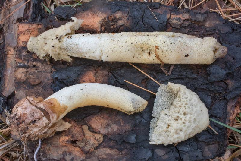 Side view of mature stinkhorn mushrooms (Phallus impudicus) on Richards Loop Trail in Sam Houston National Forest. Texas, December 3, 2020