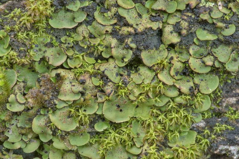 "Green lobes of tree stipplescale lichen (<B>Placidium arboreum</B>) on a large fallen oak on Lone Star Hiking Trail near Pole Creek in Sam Houston National Forest. Richards, Texas, <A HREF=""../date-en/2020-12-12.htm"">December 12, 2020</A>"