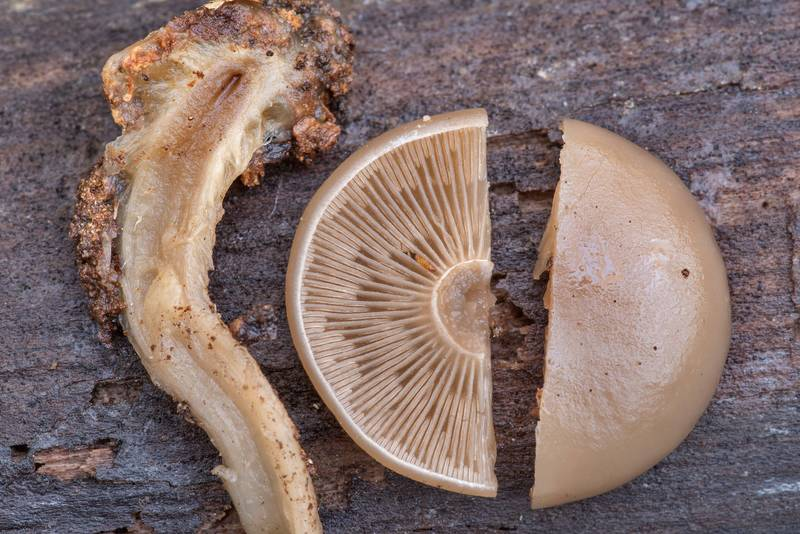 "Cap and stem of a mushroom <B>Clitocybe truncicola</B>(?) found on soil near a rotting oak on a terrace above the creek on Lone Star Hiking Trail near Pole Creek in Sam Houston National Forest. Richards, Texas, <A HREF=""../date-en/2020-12-12.htm"">December 12, 2020</A>"