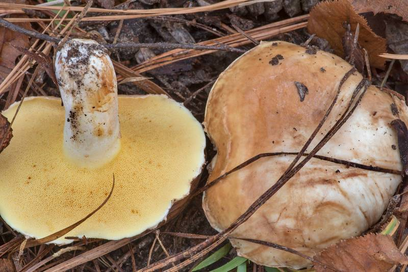 "Underside of short-stemmed slippery jack mushrooms (<B>Suillus brevipes</B>) on Lone Star Hiking Trail near Pole Creek in Sam Houston National Forest. Richards, Texas, <A HREF=""../date-en/2020-12-12.htm"">December 12, 2020</A>"
