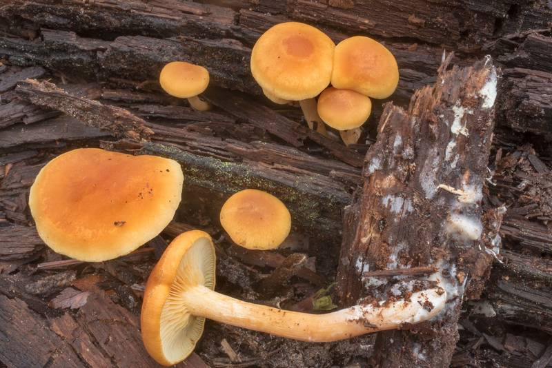 "Common rustgill mushrooms (<B>Gymnopilus penetrans</B>) with side view on rotting pine wood on Richards Loop Trail in Sam Houston National Forest. Texas, <A HREF=""../date-en/2020-12-15.htm"">December 15, 2020</A>"