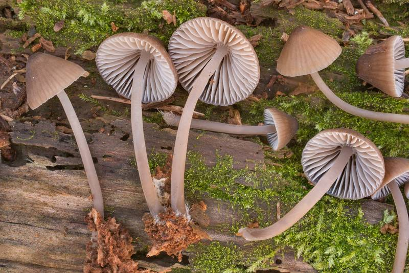 "Mushrooms <B>Mycena alcalina</B>(?) found on a mossy side of a pine log and moved to upper side in Huntsville State Park. Texas, <A HREF=""../date-en/2020-12-18.htm"">December 18, 2020</A>"