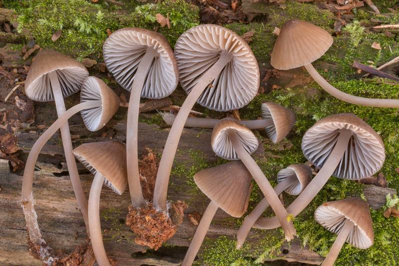 "Cluster of mushrooms <B>Mycena alcalina</B>(?) on a mossy pine log in Huntsville State Park. Texas, <A HREF=""../date-en/2020-12-18.htm"">December 18, 2020</A>"