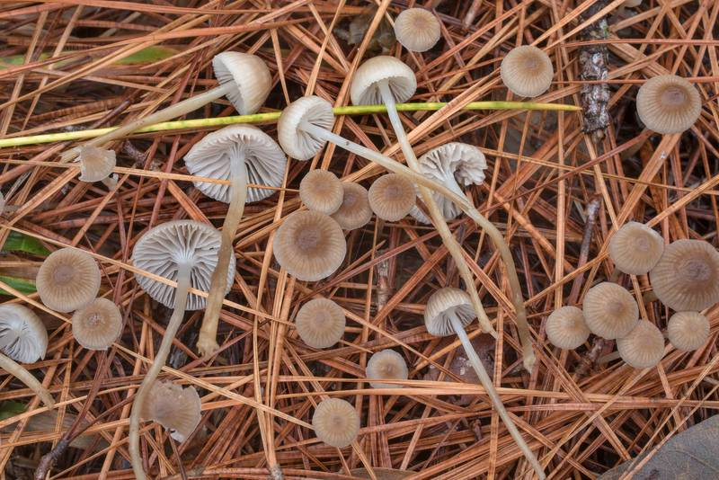Needle bonnet mushrooms (Mycena clavicularis) under pines on Caney Creek section of Lone Star Hiking Trail in Sam Houston National Forest north from Montgomery. Texas, December 20, 2020