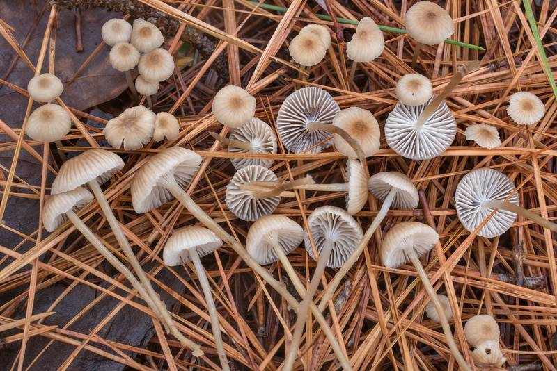 Close-up of needle bonnet mushrooms (Mycena clavicularis) under pines on Caney Creek section of Lone Star Hiking Trail in Sam Houston National Forest north from Montgomery. Texas, December 20, 2020