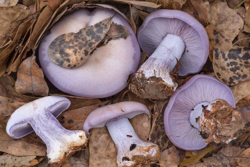 Cross section of freshly grown wood blewit mushrooms (Lepista nuda) on a sandy path covered by dry oak leaves in Lick Creek Park. College Station, Texas, December 23, 2020