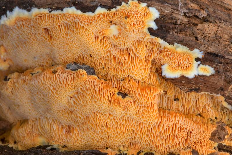 "Soft orange resupinate polypore mushroom <B>Fibroporia radiculosa</B> on a rotting pine log on Richards Loop Trail in Sam Houston National Forest. Texas, <A HREF=""../date-en/2020-12-24.htm"">December 24, 2020</A>"