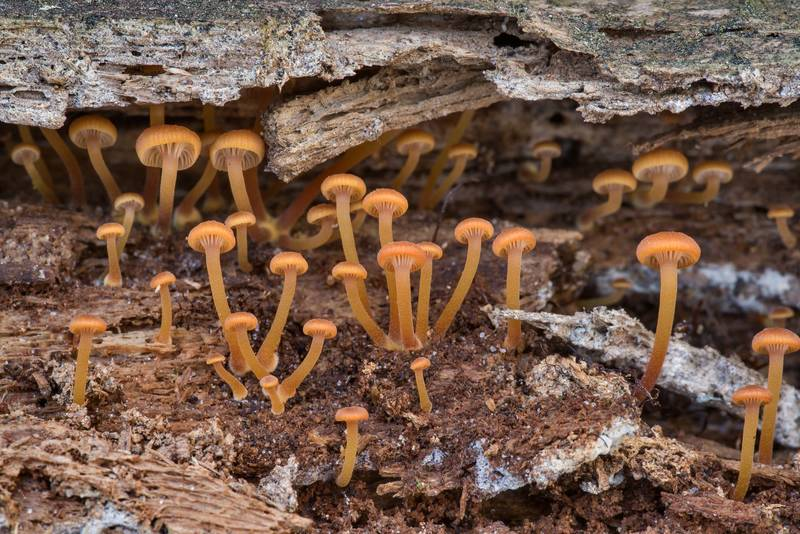 "Immature pinewood gingertail mushrooms (<B>Xeromphalina campanella</B>) on rotting pine wood on Richards Loop Trail in Sam Houston National Forest. Texas, <A HREF=""../date-en/2020-12-24.htm"">December 24, 2020</A>"
