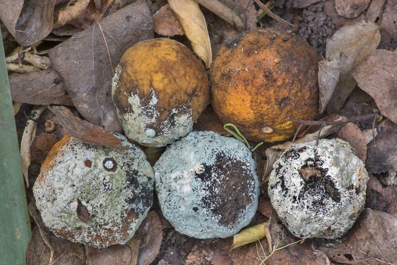 Green mould caused by fungus Penicillium digitatum on fallen fruits of trifoliate orange on Caney Creek section of Lone Star Hiking Trail in Sam Houston National Forest north from Montgomery. Texas, December 28, 2020