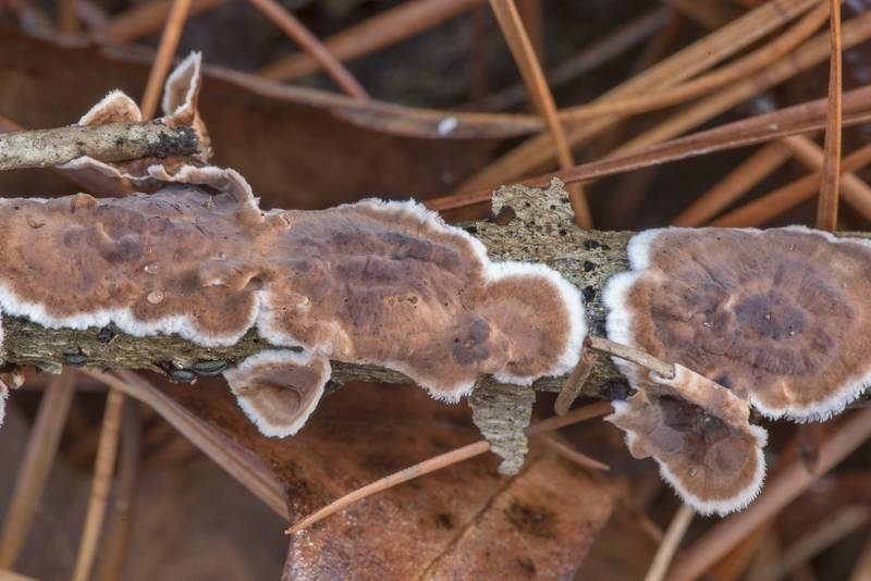 "Giraffe spots fungus (<B>Peniophora albobadia</B>) on a dry stem of Yaupon on Sand Branch Loop Trail in Sam Houston National Forest near Montgomery. Texas, <A HREF=""../date-en/2021-01-01.htm"">January 1, 2021</A>"