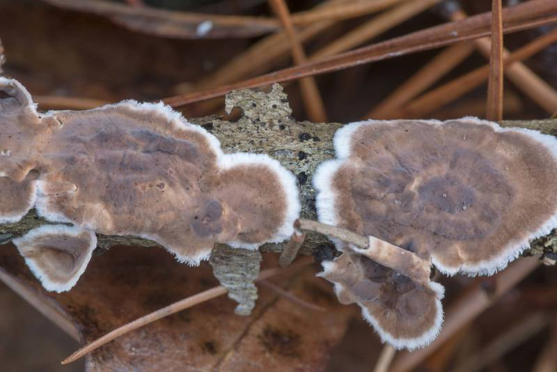"Giraffe spots fungus (<B>Peniophora albobadia</B>) on a fallen twig on Sand Branch Loop Trail in Sam Houston National Forest near Montgomery. Texas, <A HREF=""../date-en/2021-01-01.htm"">January 1, 2021</A>"