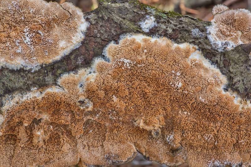 "Polypore mushroom <B>Trametopsis cervina</B> on a fallen oak branch in Lick Creek Park. College Station, Texas, <A HREF=""../date-en/2021-01-03.htm"">January 3, 2021</A>"