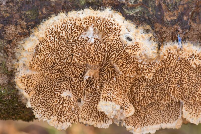 "Texture of polypore mushroom <B>Trametopsis cervina</B> on a fallen oak branch in Lick Creek Park. College Station, Texas, <A HREF=""../date-en/2021-01-03.htm"">January 3, 2021</A>"