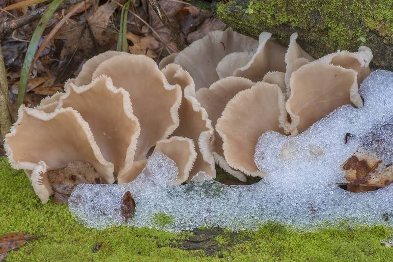 Oyster mushrooms (Pleurotus ostreatus) on a fallen oak with melting snow near Pole Creek on North Wilderness Trail of Little Lake Creek Wilderness in Sam Houston National Forest north from Montgomery. Texas, January 13, 2021