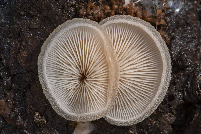 Gills of woolly oyster mushrooms (Hohenbuehelia mastrucata) on underside of a fallen oak on North Wilderness Trail of Little Lake Creek Wilderness in Sam Houston National Forest north from Montgomery. Texas, January 13, 2021