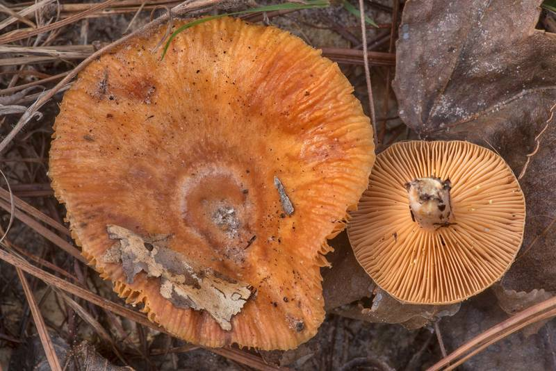 "Milkcap mushrooms <B>Lactarius chrysorrheus</B>(?) on overgrown Forest Road 215B on Stubblefield section of Lone Star hiking trail north from Trailhead No. 6 in Sam Houston National Forest. Texas, <A HREF=""../date-en/2021-01-14.htm"">January 14, 2021</A>"