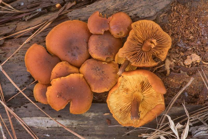"Dense cluster of rustgill mushrooms <B>Gymnopilus penetrans</B> or may be G. sapineus on a rotting pine log on Stubblefield section of Lone Star hiking trail north from Trailhead No. 6 in Sam Houston National Forest. Texas, <A HREF=""../date-en/2021-01-14.htm"">January 14, 2021</A>"
