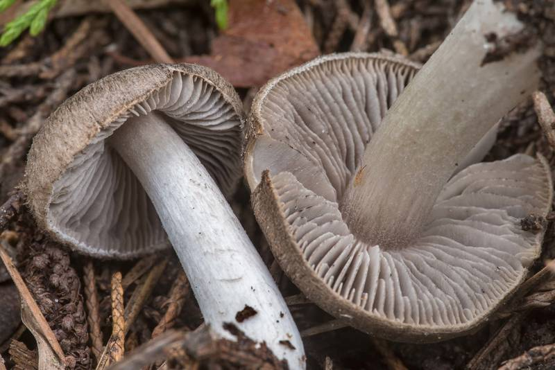 Close-up of grey knight mushrooms (Tricholoma terreum group) between a red cedar tree and thin pines, on a well drained slope, near a small creek crossing on Sand Branch Loop Trail in Sam Houston National Forest near Montgomery. Texas, January 20, 2021