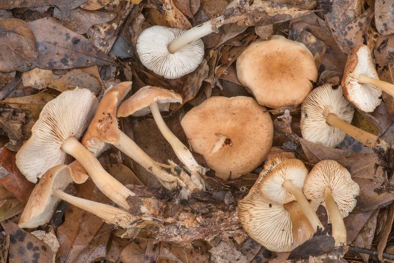 "Butter cap mushrooms (<B>Rhodocollybia butyracea</B>) under small oaks in Lick Creek Park. College Station, Texas, <A HREF=""../date-en/2021-01-21.htm"">January 21, 2021</A>"