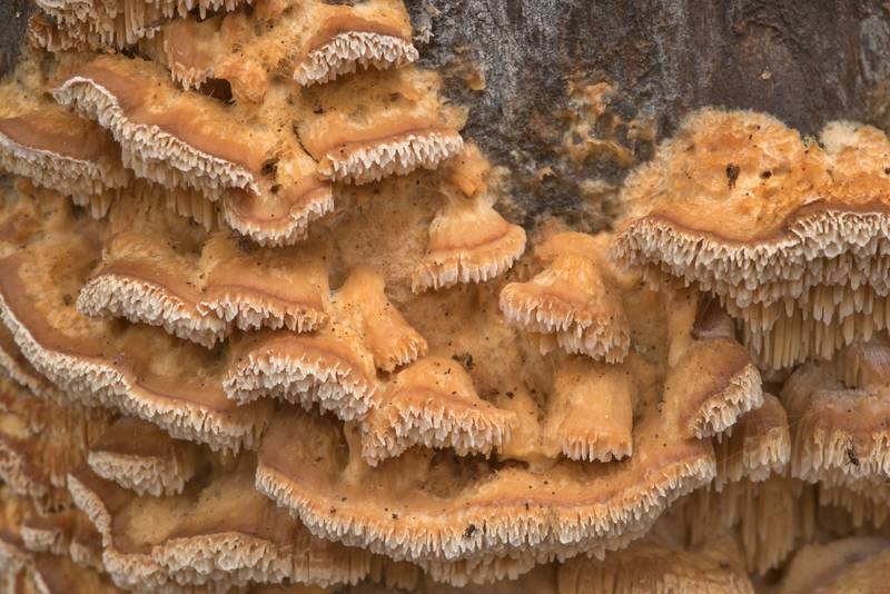 "Upper cup surface of polypore mushrooms <B>Trametopsis cervina</B> on a drying red maple(?) tree on Four Notch Loop Trail of Sam Houston National Forest near Huntsville. Texas, <A HREF=""../date-en/2021-01-23.htm"">January 23, 2021</A>"