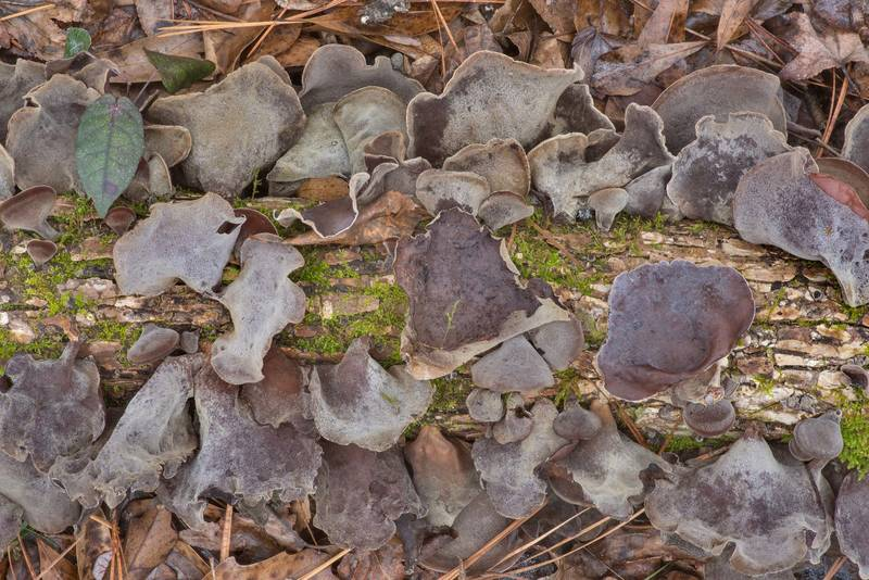 "Cloud ear jelly mushrooms (<B>Auricularia nigricans</B>) on a fallen branch on Four Notch Loop Trail of Sam Houston National Forest near Huntsville. Texas, <A HREF=""../date-en/2021-01-23.htm"">January 23, 2021</A>"