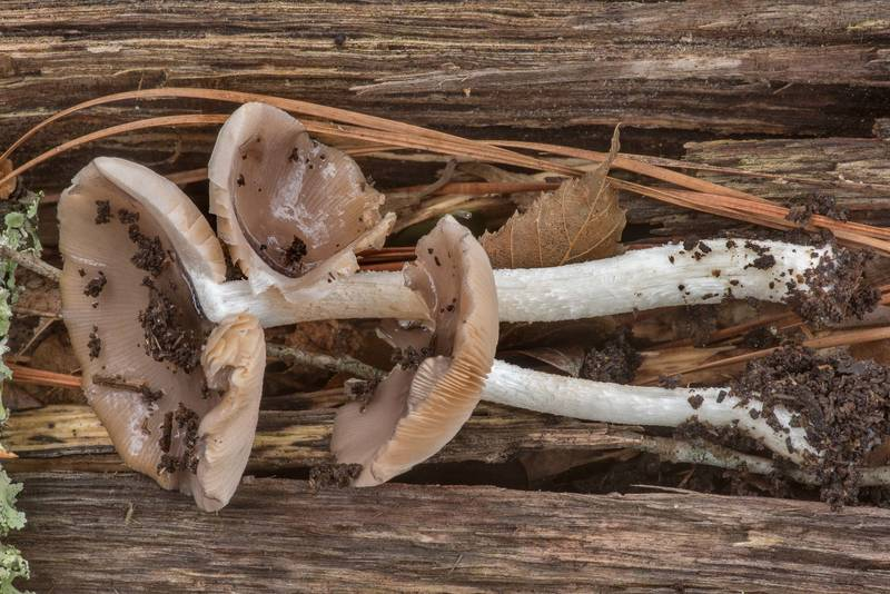 "Side view of <B>Bolbitius pluteoides</B> mushrooms on fallen oak on Four Notch Loop Trail of Sam Houston National Forest near Huntsville. Texas, <A HREF=""../date-en/2021-01-23.htm"">January 23, 2021</A>"
