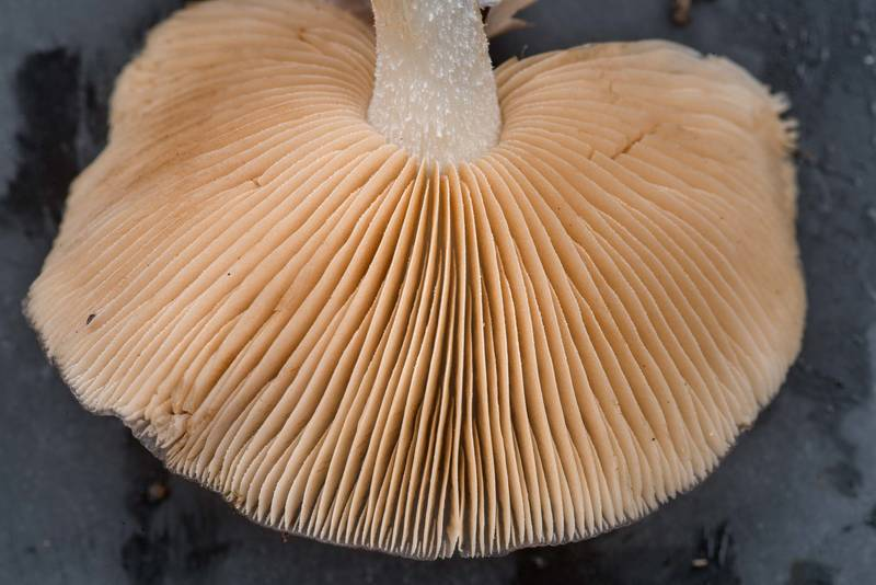 "Gills of <B>Bolbitius pluteoides</B> mushrooms on Four Notch Loop Trail of Sam Houston National Forest near Huntsville. Texas, <A HREF=""../date-en/2021-01-23.htm"">January 23, 2021</A>"