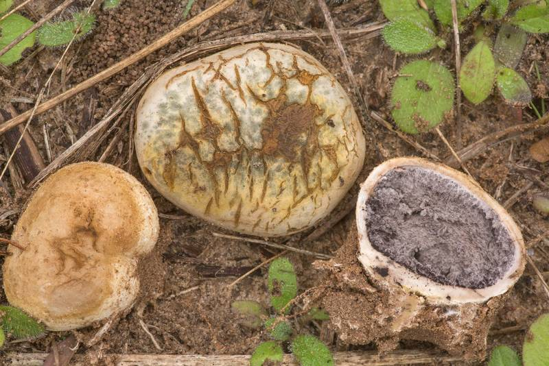 Potato earthball mushrooms (Scleroderma bovista) in prairie in Washington-on-the-Brazos State Historic Site. Washington, Texas, January 24, 2021